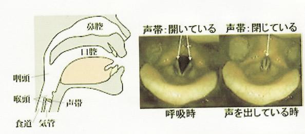 声帯の構造
